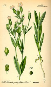 Vaccaria Plant is used to make the ear acupressure seeds.